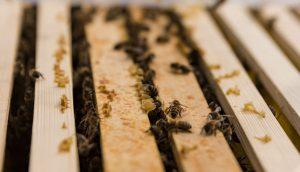 Kaum aufgestellt, sind die emsigen Bienen auch schon am Arbeiten. Ein Volk umfasst rund 15.000 Bienen – und natürlich eine Königin.